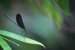 Dunkelblaue Libelle auf grünem Blatt Stockfoto