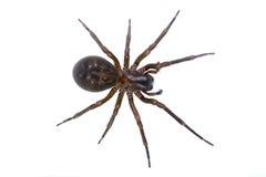 Dunkelbraune Spinne auf einem weißen Hintergrund Lizenzfreie Stockfotografie
