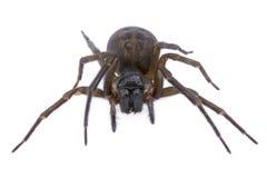 Dunkelbraune Spinne auf einem weißen Hintergrund lizenzfreie stockbilder