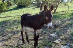 Dunkelbrauner Esel auf dem Gebiet Lizenzfreie Stockbilder