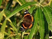 Dunkelbrauner Schmetterling mit orange Streifen in Form eines Ringes auf den Flügeln sitzt auf den schmalen Blättern des Busches lizenzfreie stockfotografie