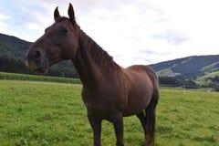 Dunkelbraunes Pferd Lizenzfreies Stockbild