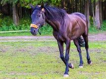 Dunkelbraunes Pferd, das nahe Wald läuft Stockfoto