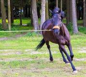 Dunkelbraunes Pferd, das schnell läuft Stockfotografie