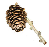 Dunkeld Larch Tree Cone Stock Images