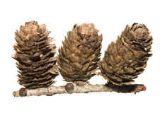 Dunkeld Larch Tree Cones Stock Photo