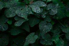 Dunkelgrüne Blätter, Hecke, Betriebsdunkler Hintergrund lizenzfreie stockbilder