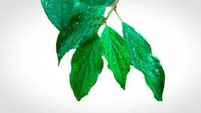 Dunkelgrüne Blätter nach Regen! stockbild