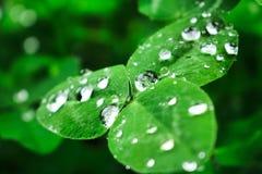 Dunkelgrüne Blätter nach Regen mit Wassertropfen! stockbild