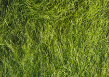 Dunkelgrüne Meerespflanze. Lizenzfreie Stockbilder
