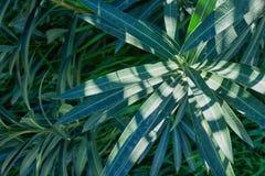 Dunkelgrünes Laub einer gesunden Anlage mit gezackten Blättern GR Stockbilder