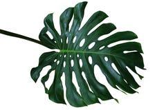 Dunkelgrünes tropisches Blatt von Monstera-deliciosa, das Spalteblatt p lizenzfreies stockfoto