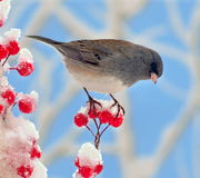 Dunkelheit gemusterter Junco an den Winter-Beeren Stockfoto