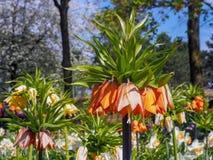 Dunkelorangefarbige Fritillaria Imperialis-Aurorablumen mit grünen Blättern lizenzfreie stockbilder