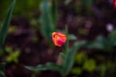 Dunkelorangefarbiger Tulpenweltfavorit Darwin Hybrid Tulips Lizenzfreies Stockfoto