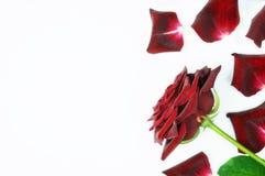 Dunkelrot stieg mit den Blumenblättern auf einem weißen Hintergrund Stockfotografie
