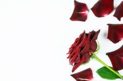 Dunkelrot stieg mit den Blumenblättern auf einem weißen Hintergrund Stockfoto