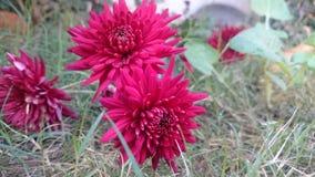 Dunkelrote Blumen Stockfotos