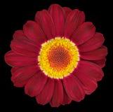 Dunkelrote Gerbera-Blume lokalisiert auf Schwarzem Stockbilder