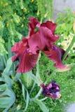 Dunkelrote Iris Lizenzfreie Stockbilder