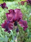 Dunkelrote Iris Stockbilder