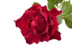 Dunkelrote Rose mit Tropfen lokalisiert auf weißem Hintergrund stockbilder
