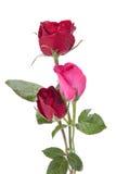 Dunkelrote Rosen lokalisiert auf Weiß stockbilder