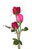 Dunkelrote Rosen lokalisiert auf Weiß lizenzfreie stockbilder