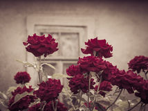Dunkelroter Rosenbusch mit Weinlesefenster im Hintergrund Stockfotografie