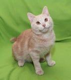 Dunkelrotes gestreiftes Kätzchen mit dem orange Augensitzen Lizenzfreie Stockfotografie