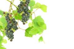 Dunkelrotes Weinrebebündel mit Blättern im weißen Hintergrund Stockfotografie