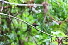 Dunkla Crimsonwing royaltyfri bild
