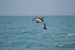 Dunkla delfin i Kaikoura, Nya Zeeland Arkivfoto