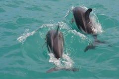 Dunkla delfin i Kaikoura, Nya Zeeland Arkivbilder