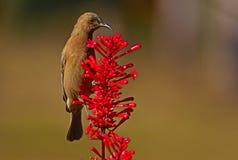 Dunkla Honeyeater som matar på röda blommor royaltyfria foton