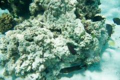 Dunkla surgeonfish- och sötcitronButterflyfish i Coral Reef Royaltyfri Foto