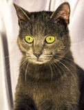 Dunkle aschige graue Katze Lizenzfreies Stockbild