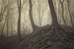 Dunkle Bäume mit sichtbaren Wurzeln in einem Wald mit Nebel Stockbild