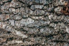 Dunkle Baumrindebeschaffenheit mit starken Adern Stockfotografie
