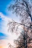 Dunkle Baumschattenbilder auf Hintergrund des blauen Himmels mit rosa Sonnenuntergang, Winterlandschaft Stockbilder