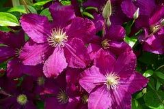 Dunkle Blumen der purpurroten Klematis Stockbilder