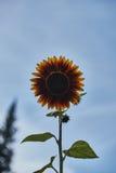 Dunkle gelbe dekorative Sonnenblume lizenzfreie stockfotos