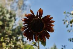 Dunkle gelbe dekorative Sonnenblume Stockfotografie