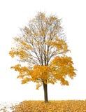 Dunkle Goldahorn- und -fallblätter auf Weiß stockfoto