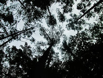 Dunkle Kiefern berühren den Himmel Stockbild
