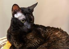 Dunkle kornische Rex Hauskatze Lizenzfreies Stockbild