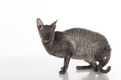 Dunkle kornische Rex-Katze, die auf der weißen Tabelle mit Reflexion sitzt Weißer Hintergrund Gerade schauen Stockbild