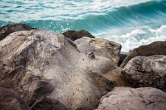 Dunkle Krabbe auf den Felsen - Atlantik, Teneriffa stockbild