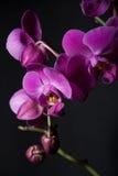 Dunkle Orchideen Stockfoto