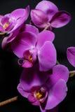 Dunkle Orchideen Stockbild